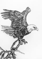 34-bald-eagle
